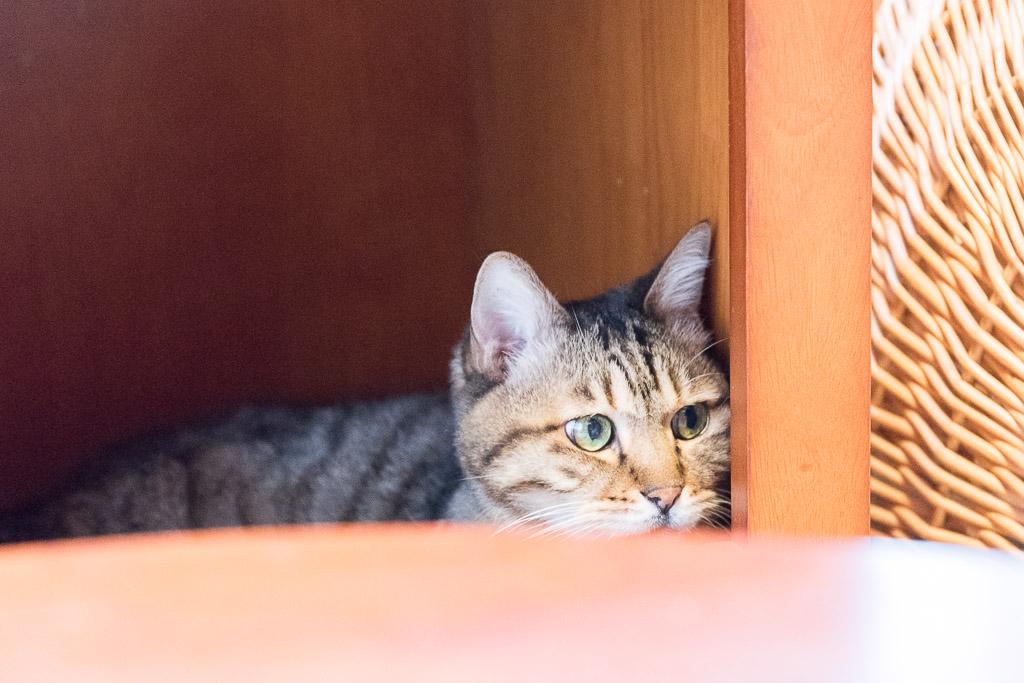 猫カフェ・ネコリパブリックのドリンクエリアにいる猫