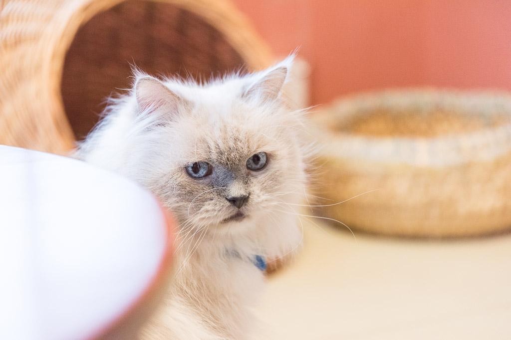 猫カフェ・ネコリパブリックの最年長猫