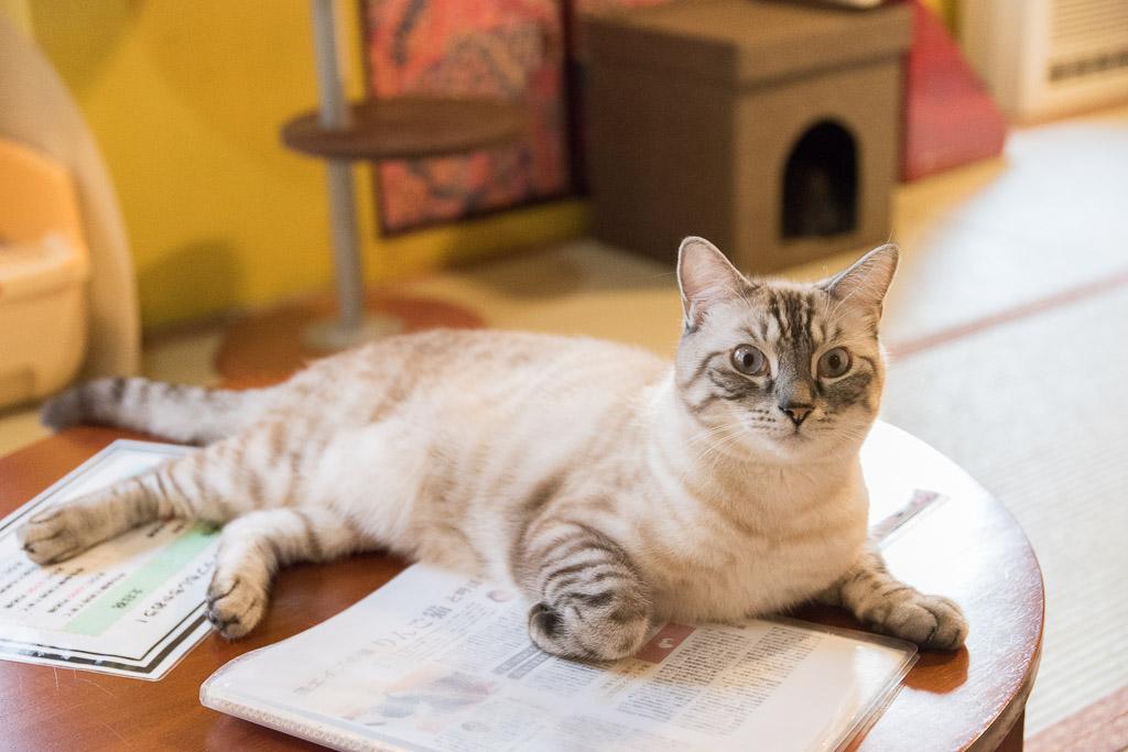 猫カフェ・ネコリパブリックの猫その1