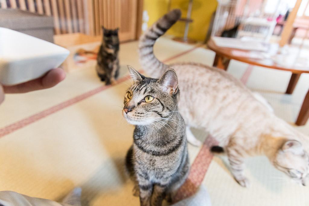 猫カフェ・ネコリパブリックのおやつしか見てない猫
