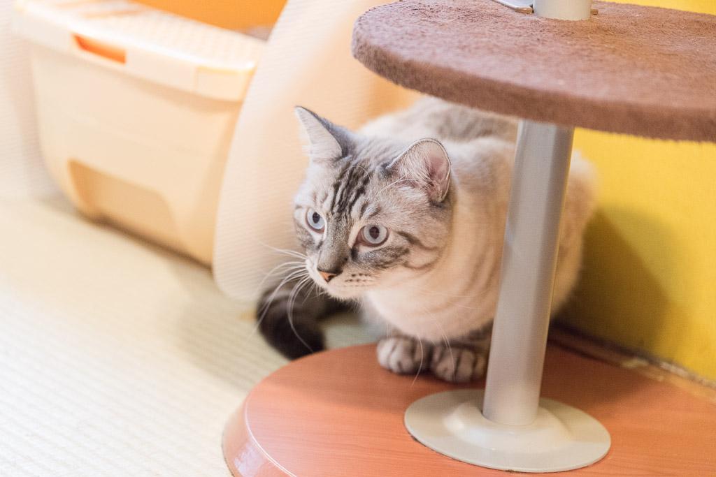 猫カフェ・ネコリパブリックの猫その2