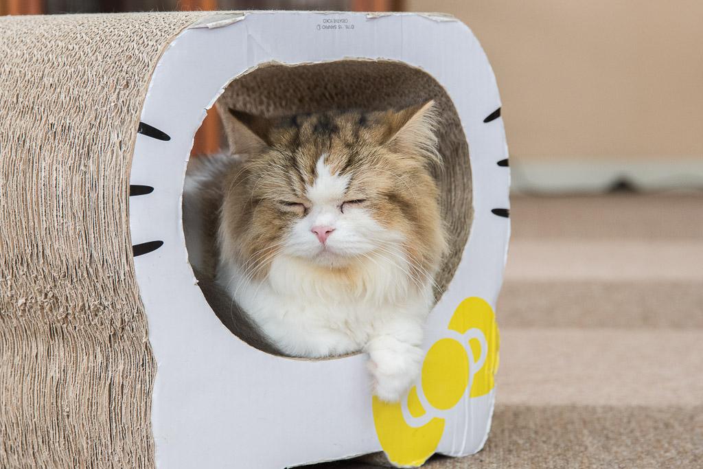 猫カフェねころびの猫