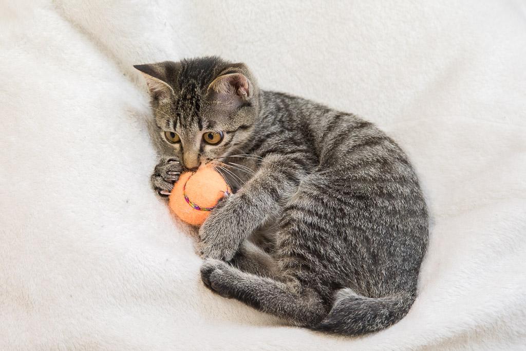 猫カフェねころびの子ネコ
