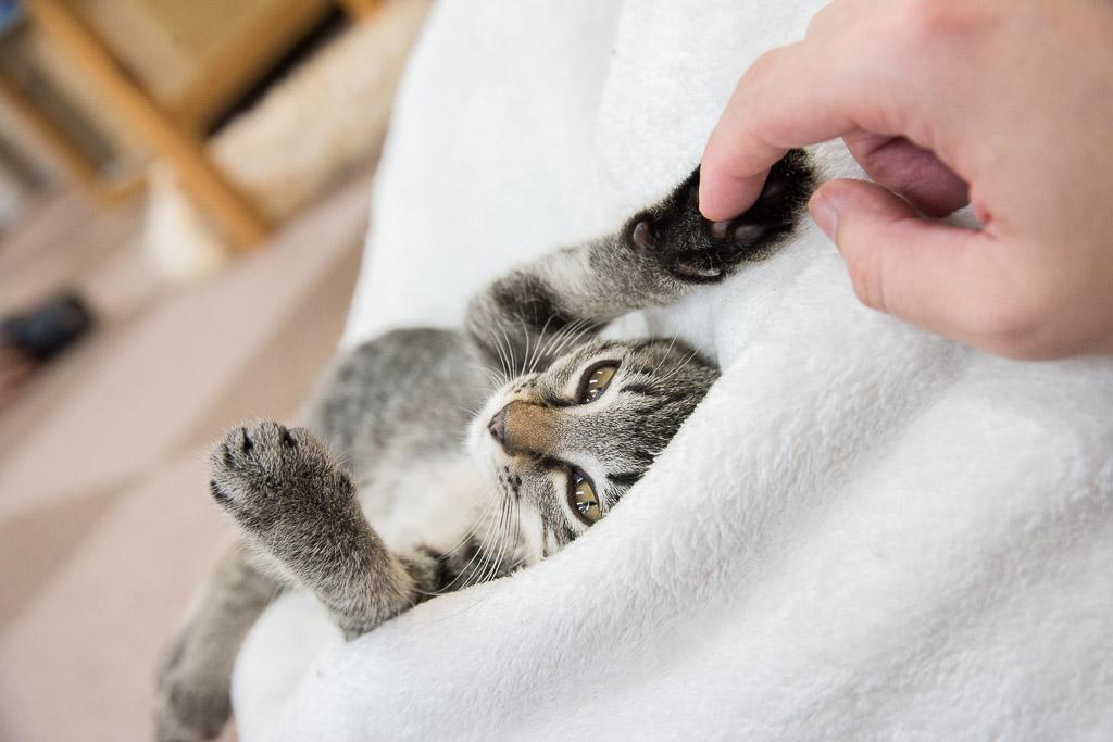 猫カフェねころびの子猫と遊ぶ