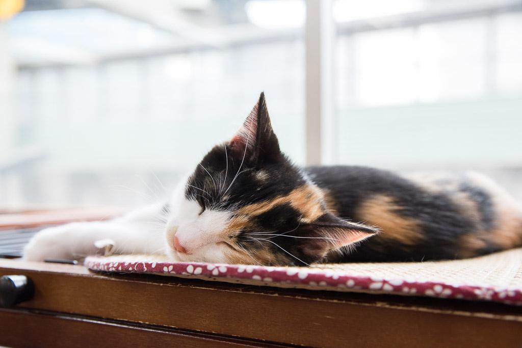 猫カフェねころびの子ネコその4