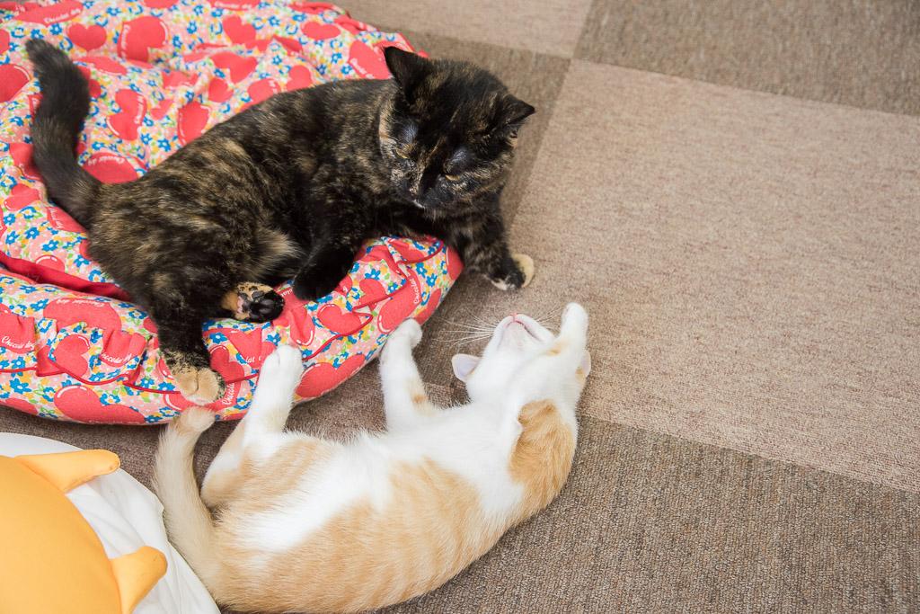 猫カフェねころびの子ネコその7