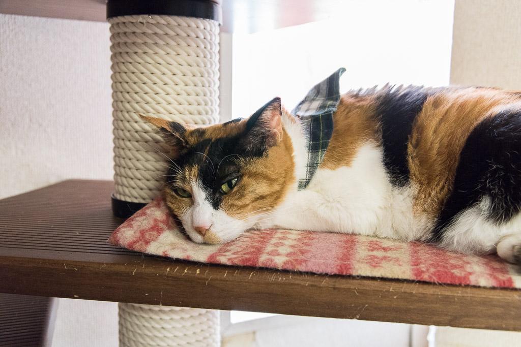 猫カフェ・ねこ園の猫2