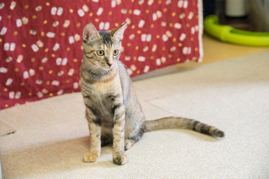 猫カフェ・ねこ園の猫におもちゃを見せる