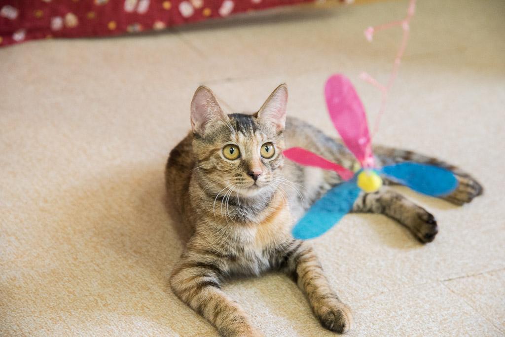 猫カフェ・ねこ園の猫とおもちゃで遊ぶ
