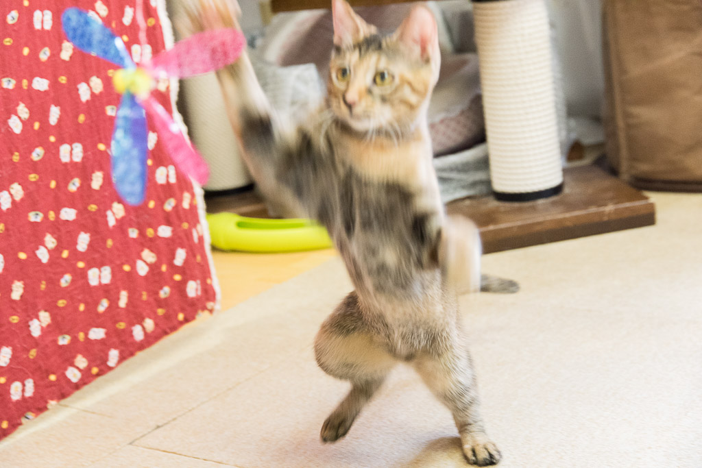 猫カフェ・ねこ園の猫とおもちゃで遊ぶ2