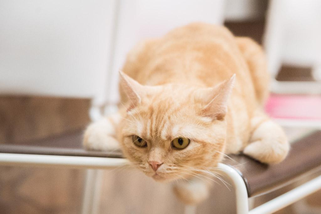猫カフェ・ねこぶくろのねこ1