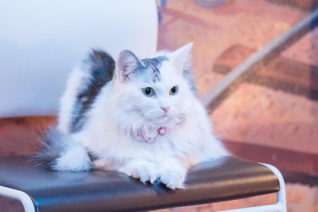 猫カフェ・ねこぶくろの椅子に座ってる猫