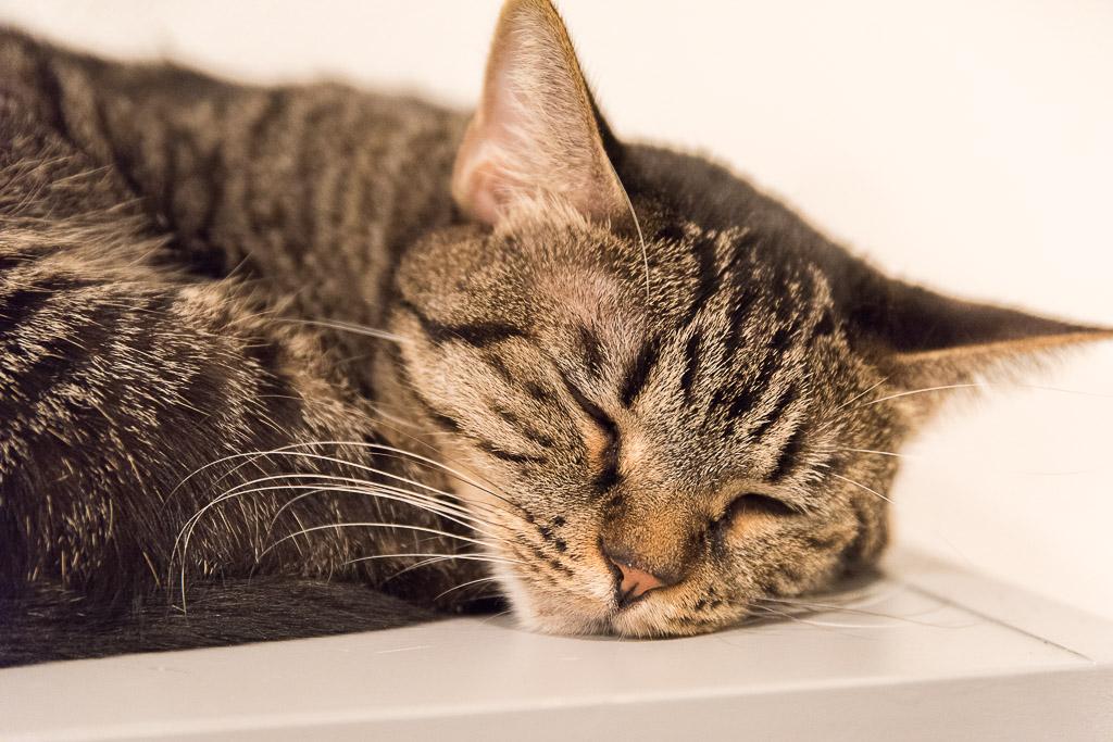 池袋の猫カフェ・ネコリパブリックの猫5