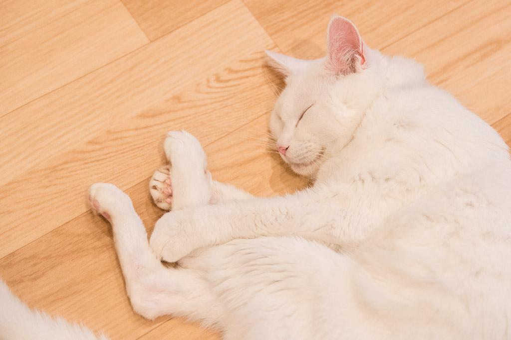 池袋の猫カフェ・ネコリパブリックの猫2