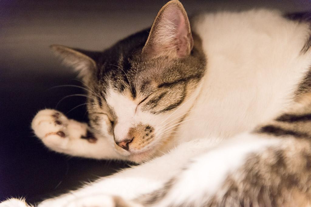 池袋の猫カフェ・ネコリパブリックの猫を撫でたら寝た
