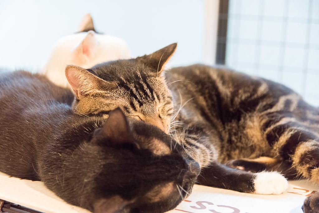 池袋の猫カフェ・ネコリパブリックの猫6