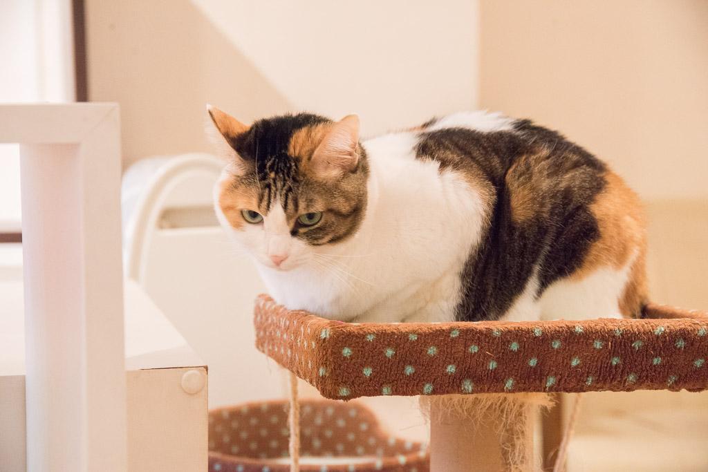 猫カフェ・ニャフェ・メランジェの猫1
