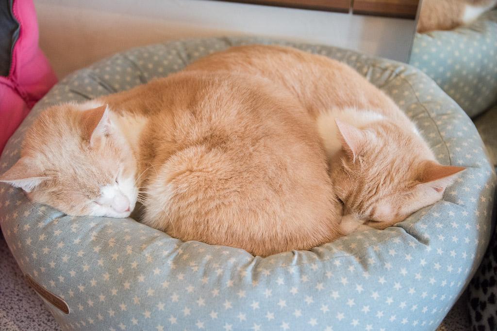 猫カフェ・ニャフェ・メランジェの猫5