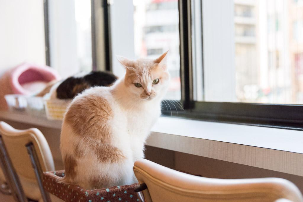 猫カフェ・ニャフェ・メランジェの猫9