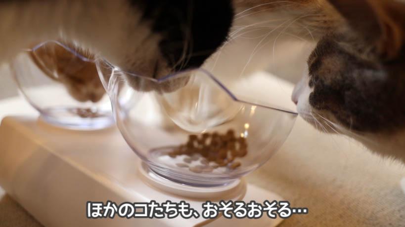 おそるおそる和の究みキャットフード 1歳から飽きやすい成猫用の匂いを嗅ぐ猫たち