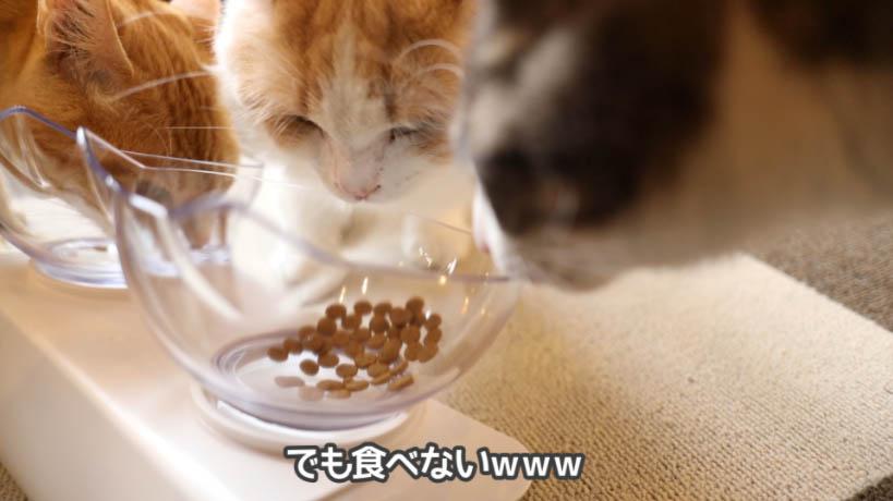 匂いを嗅ぐけど食べない猫たち
