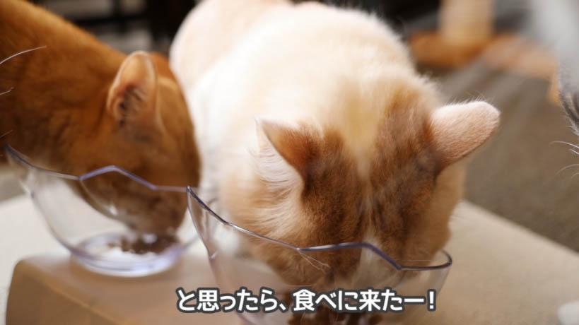 しばらくしてやっと和の究みキャットフード 1歳から飽きやすい成猫用を食べる猫たち