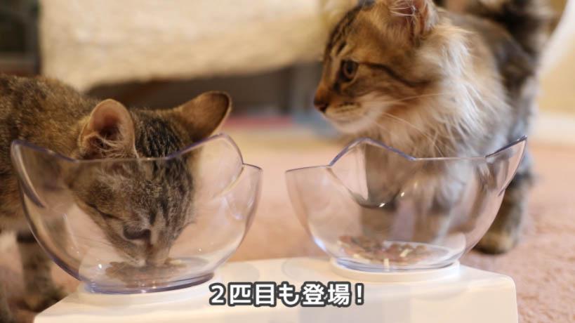 COMBO子ねこ用ミルクチップ添えを食べに2匹目も登場