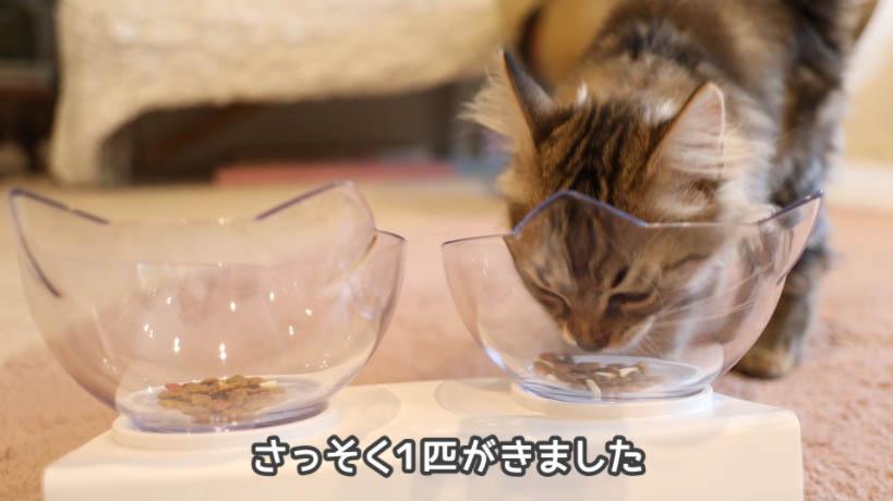 COMBO子ねこ用ミルクチップ添えを食べに1匹が来た