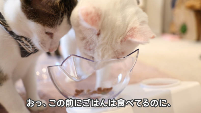 COMBO猫下部尿路の健康維持を二匹で食べ合う様子