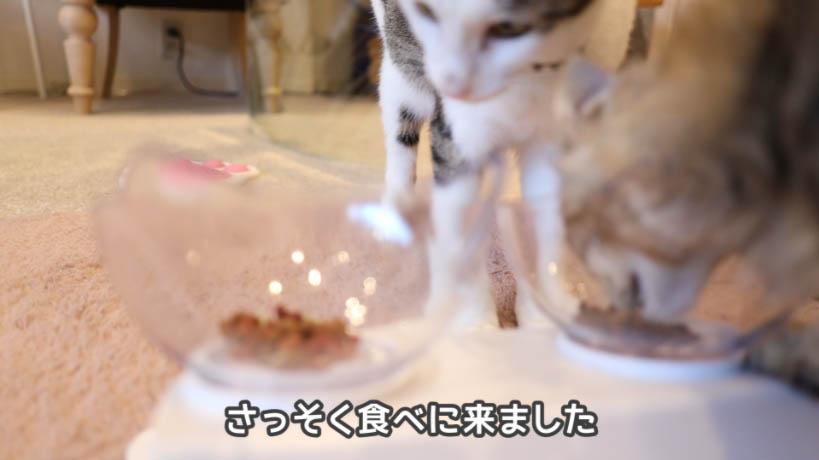 モンプチ7種のブレンドを猫が食べてる様子