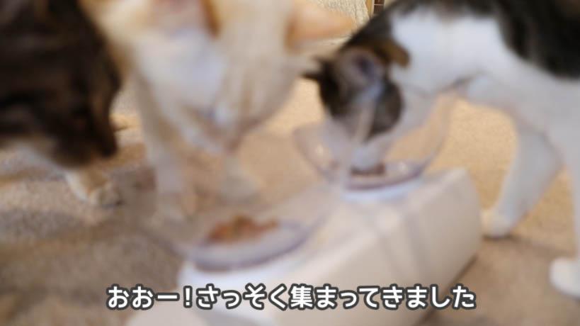 シーバDUO香りのまぐろと味わい鶏ささみ味を食べる猫たち