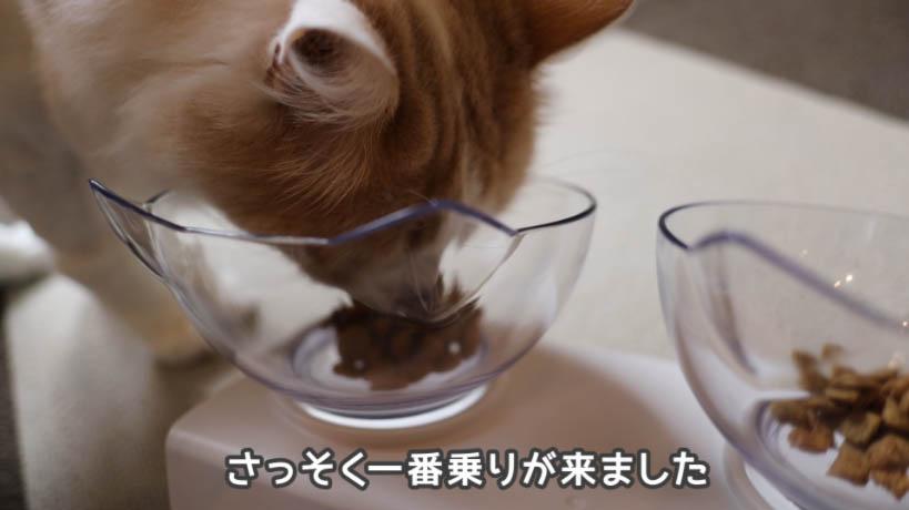 ピュリナワン グレインフリー 白身魚を食べようとする猫