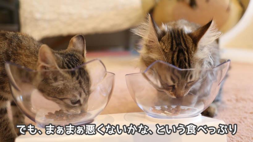 COMBO子ねこ用ミルクチップ添えをいちおう食べ始める猫たち