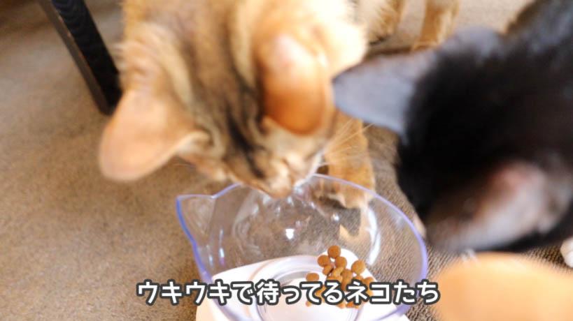 ロイヤルカナン セイバーエクシジェントを食べたくて仕方ない猫たち