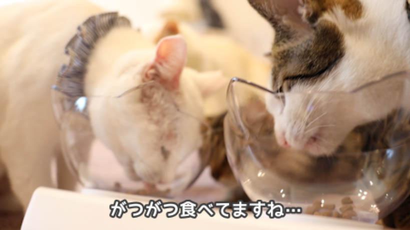 モンプチナチュラル白身魚とチキンの贅沢をガツガツ食べる猫たち