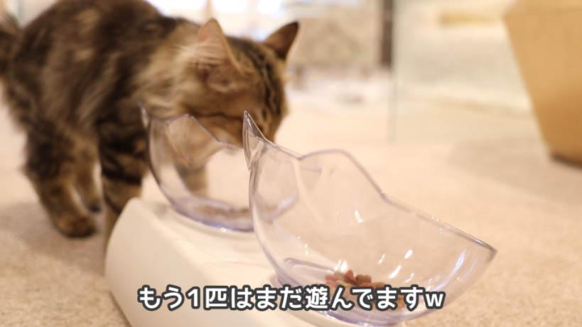 モンプチ子猫用5種のブレンドを食べに来ない猫はまだ遊んでる