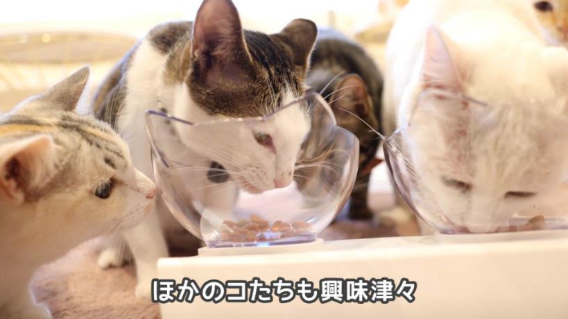 ほかの猫も食べたそうにモンプチ 7種のブレンド かつお節入りを見てる