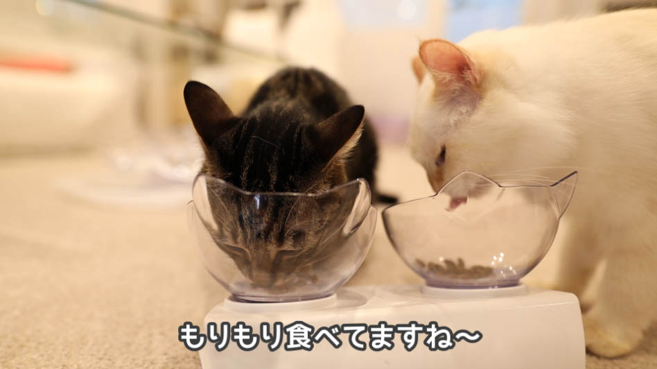 キャットフードをもりもり食べる猫たち