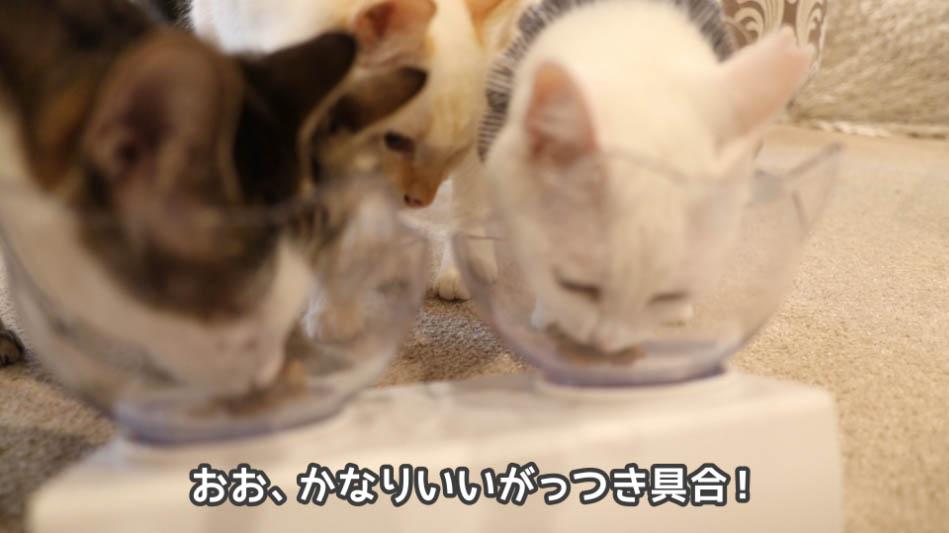 銀のスプーン三ツ星グルメ お魚味クリームをがっつく猫たち