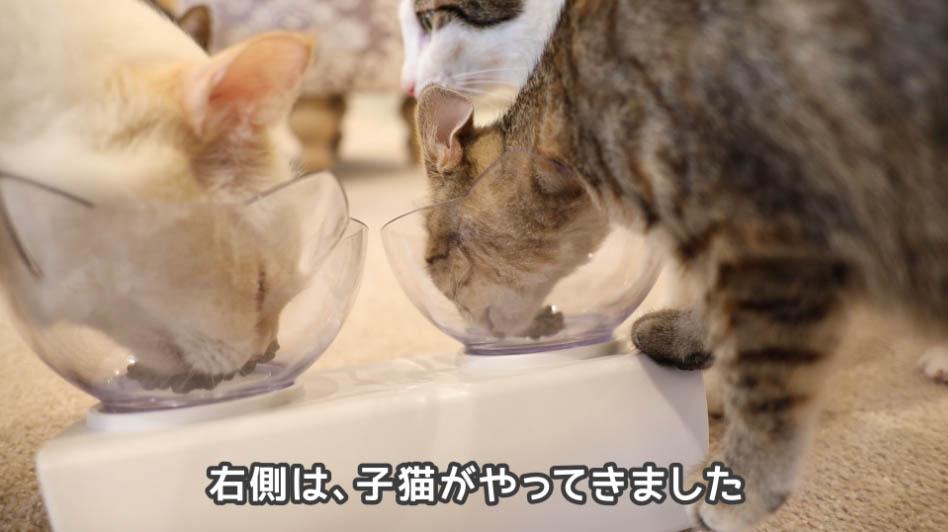 モグニャン・キャットフードを食べに子ネコがやってきた