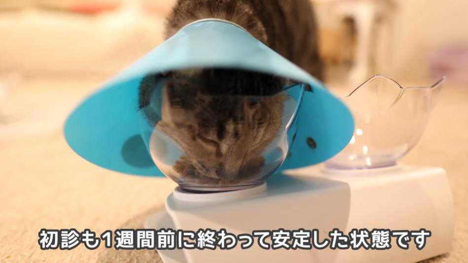 ロイヤルカナン ケアを食べる猫