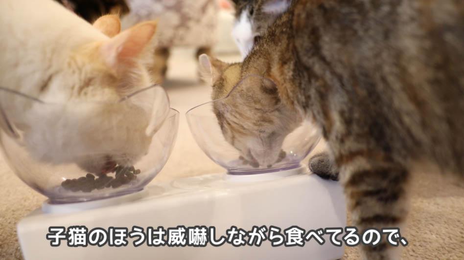 モグニャン・キャットフードを威嚇しながら食べる子ネコ
