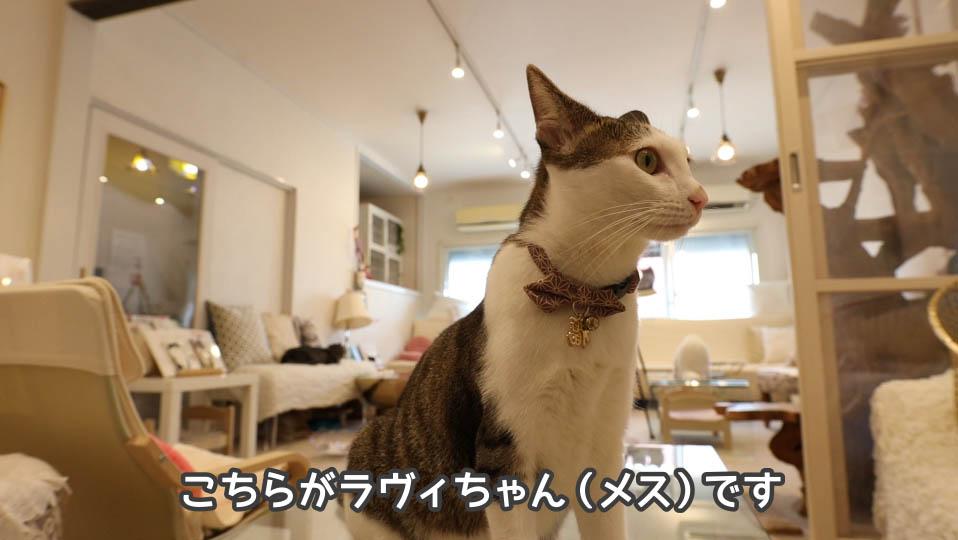 猫、ラヴィちゃん