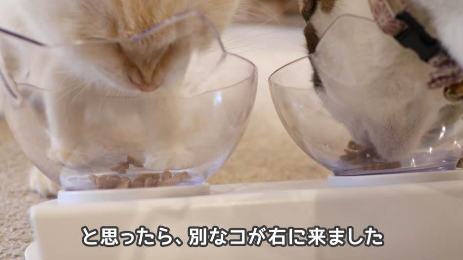COMBOプレゼント歯の健康と口臭ケアを別な猫が食べに来た