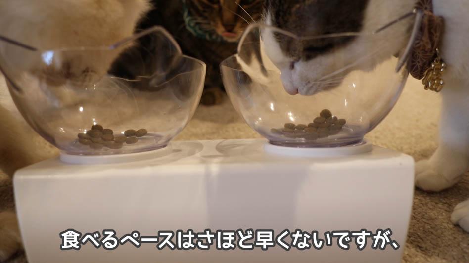 ひたすらキャットフードを猫が食べてる