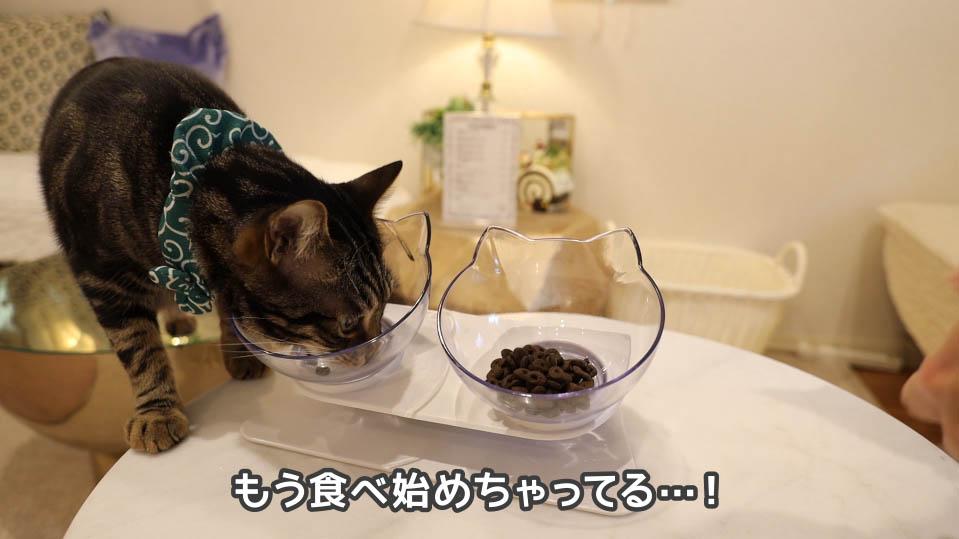 ジャガー・キャットフードをフライング気味に食べる猫