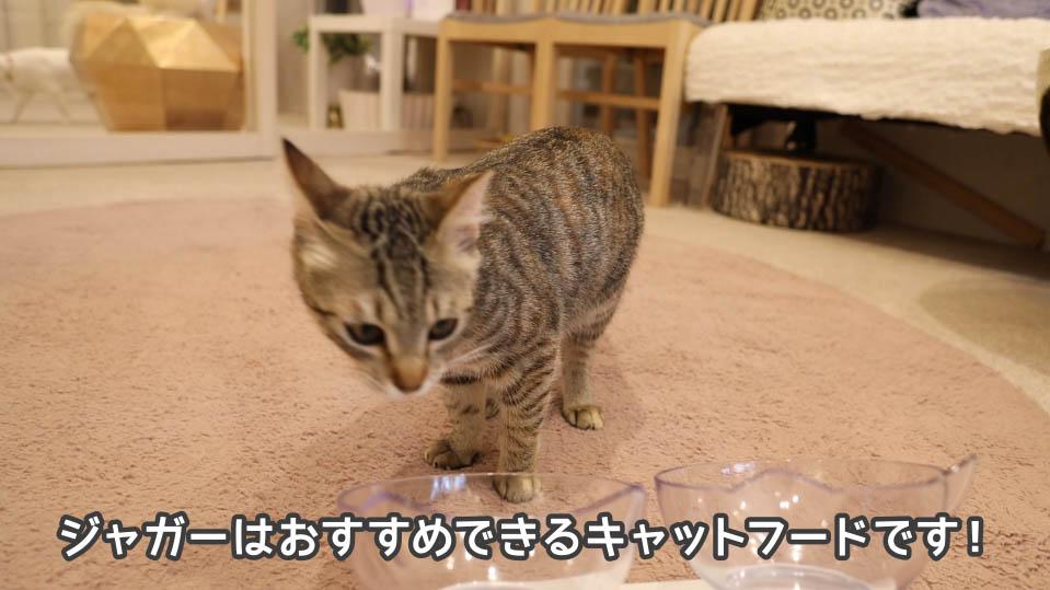 ジャガー・キャットフードを完食する8匹目の猫
