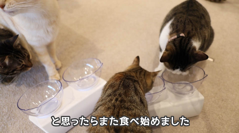 シーバDUO贅沢お魚味グルメセレクションを食べる猫たち5