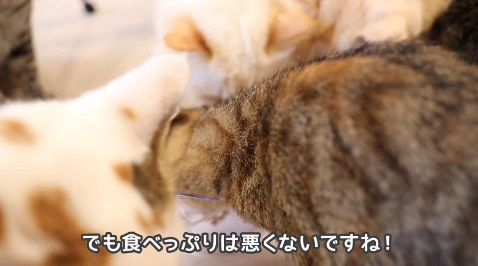 いい食べっぷりの猫たち