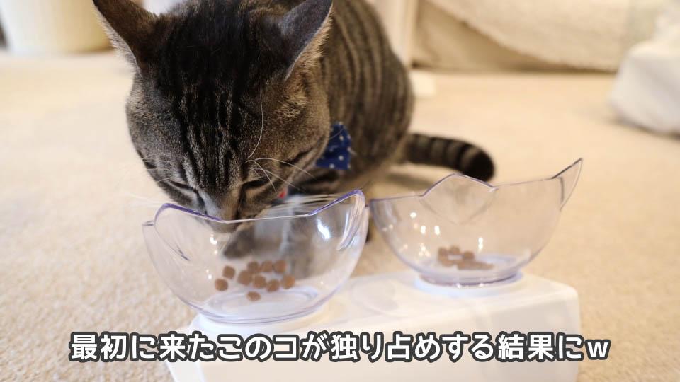 ロイヤルカナン プロテインエクシジェントを食べ続ける猫